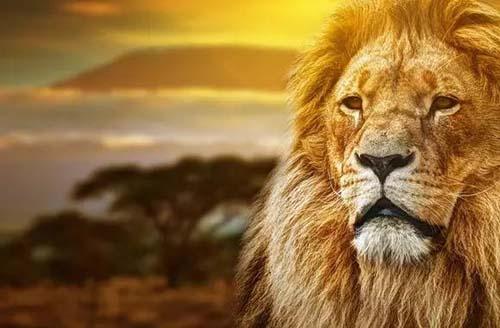 霸气狮子微信头像